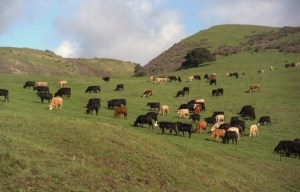 Stocker Cattle at Swanton Pacific Ranch