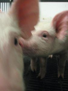 Nursery Pigs