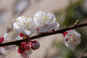 Almond Blossoms-- by Roy Fokker (Public Domain)